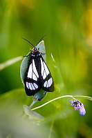 Black and white moth. Steens Mountain. Oregon