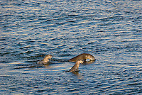 Northern River Otter (Lontra canadensis) swimming in the Yellowstone River.  Winter.