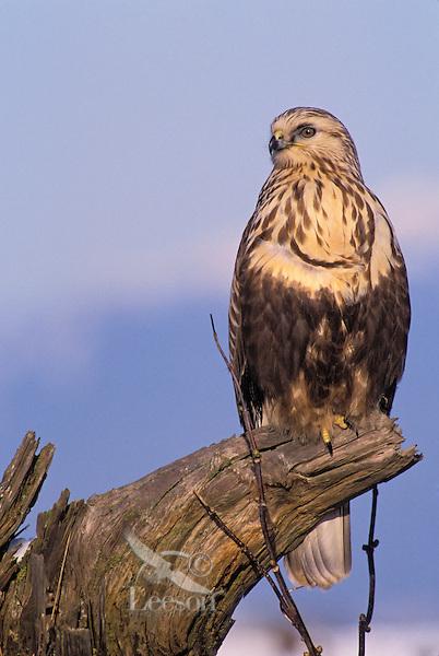 Rough-Legged Hawk. Winter. Fraser Estuary. Coastal British Columbia, Canada. (Buteo lagopus).