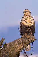 Rough-Legged Hawk. Winter. Fraser Estuary. Coastal British Columbia, Canada. (Buteo lagopus).