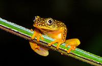 Whitebelly reed frog (Heterixalus Alboguttatus), rainforest of Ranomafana National Park, Southern Highlands, Madagascar, Africa