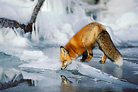 Red fox (Vulpes vulpes) along edge of frozen lake, November.  Sometimes a puddle of melt water would form on the surface of the lake ice and that is what the fox is reflecting in.  It is maybe an inch or less deep.