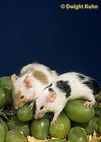 MU60-070z  Pet mouse - exploring