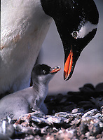 Gentoo Penguin, Pygoscelis papua, adult female with her chick. South Georgia Island, Antarctica.
