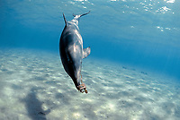 Bottlenose Dolphin, Tursiops truncatus, playing with Reef Octopus, Cyanea sp.).