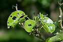 Holes in leaves of pear tree caused by caterpillars of winter moth (Operophtera brumata), late May.
