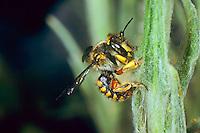 Große Wollbiene, Garten-Wollbiene, Grosse Wollbiene, Gartenwollbiene, sammelt Pflanzenwolle zum Brutzellenbau, Anthidium manicatum, Anthidium maculatum, European wool carder bee, abeille cotonnière, Wollbienen, Megachilidae