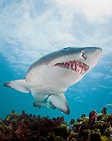 sand tiger shark, grey nurse shark, spotted ragged-tooth shark, or blue-nurse sand tiger, Carcharias taurus, De Hoop, South Africa