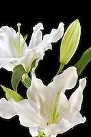 White Oriental Lily.