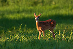 White-tailed fawn in a summer field in northern Wisconsin.