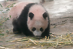 New giant panda cub Xiang Xiang makes public debut at Tokyo's Ueno Zoo on December 18, 2017, Tokyo, Japan. Tokyo Governor Yuriko Koike attended a presentation ceremony for Ueno Zoo's new female panda cub Xiang Xiang who was born on June 12, 2017. Xiang Xiang, which means ''fragrance or popular'' in Chinese, is the fifth cub to be born in the Zoo and will be shown to the public starting December 19. (Photo by Rodrigo Reyes Marin/AFLO)