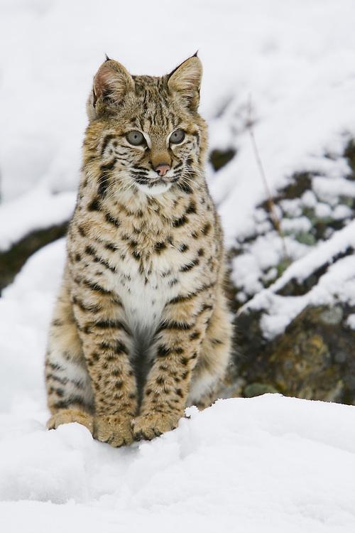 Bobcat sitting on a snowy, rocky ledge - CA