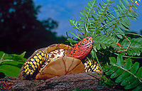 Box turtle on log