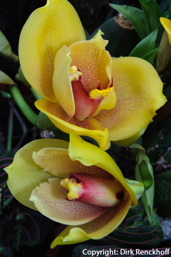 Orchidee in Eric Young Orchid Foundation, Insel Jersey, Kanalinseln