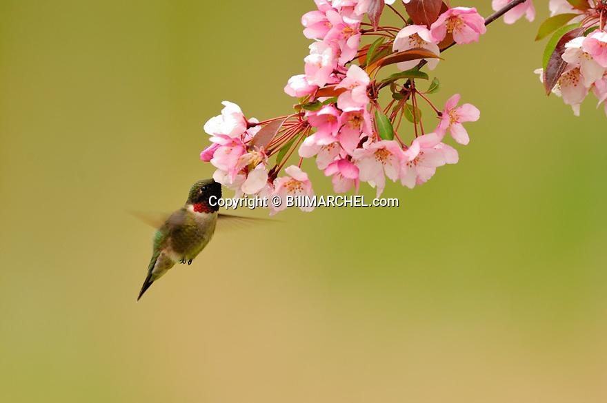 00640-007.03 Ruby-throated Hummingbird (Digital)  male is feeding on blooms of a red-splendor crabapple tree.  H2R1