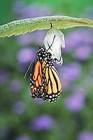 MONARCH BUTTERFLY life cycle..Emergence on Joe-Pye Weed leaf. .North America. (Danaus plexippus).