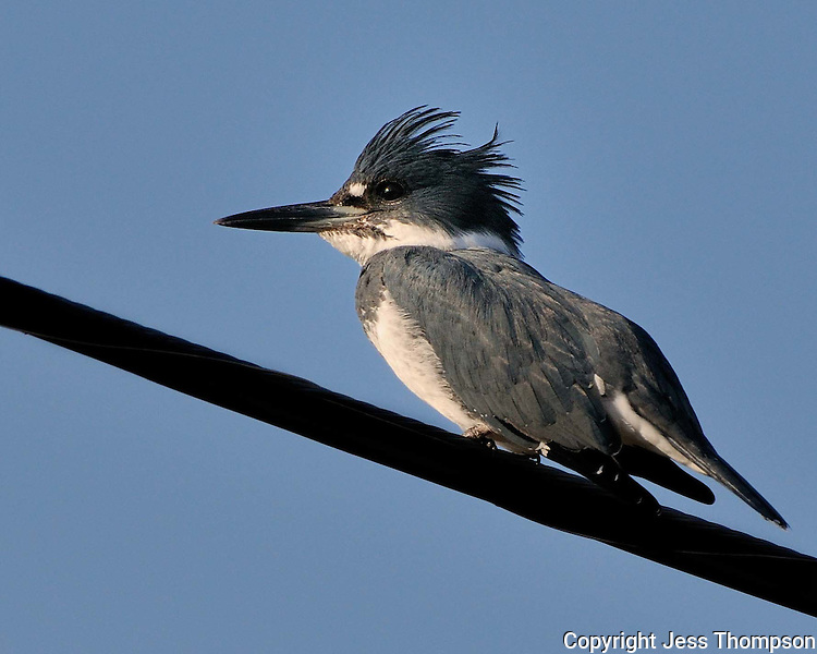 Belted Kingfisher, Enchanted Rock State Park