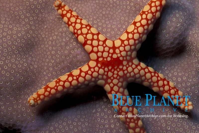 starfish, Asterina burtoni, on hard coral in the Red Sea