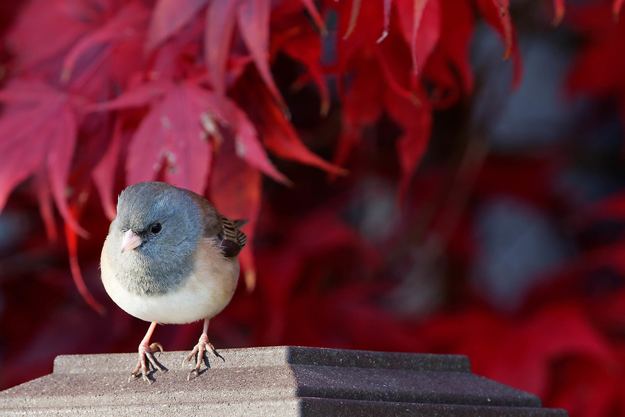 Female dark-eyed Junco (Junco hyemalis) perched on top of fence post, autumn colors in background, Snohomish, Washington, USA