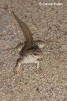 0611-1003  Desert Iguana (Mojave Desert), Dipsosaurus dorsalis  © David Kuhn/Dwight Kuhn Photography