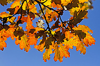Stiel-Eiche, Eichen, Stieleiche, Eiche, Quercus robur, Quercus pedunculata, English Oak, pedunculate oak, Le chêne pédonculé. Blatt, Blätter, leaf, leaves im Herbst, Herbstlaub, herbstlich verfärbt
