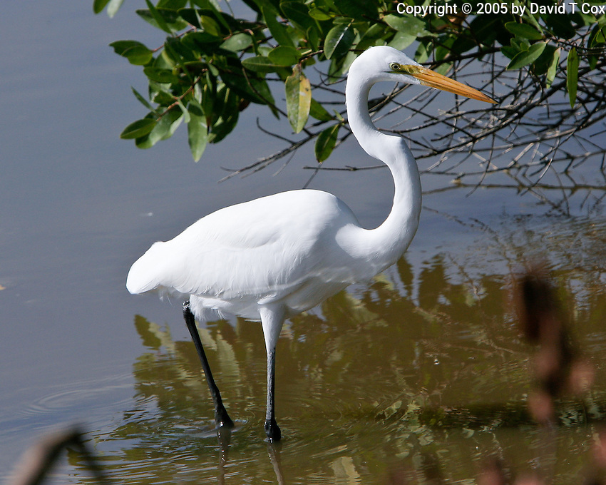 Great Egret, San Blas, Mexico
