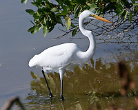 Great Egret, San Blas, Mexico