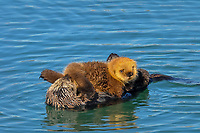 Sea Otter (Enhydra lutris) mom with young pup riding on her chest/stomach.  Prince William Sound, Alaska.  Spring.