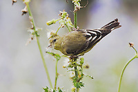 Lesser Goldfinch, Carduelis psaltria, female eating seeds of Spiny Sow-Thistle (Sonchus asper), Uvalde County, Hill Country, Texas, USA, April 2006