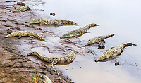 American crocodile, Crocodylus acutus, resting, basking on the river bank, Tarcoles River, Tarcoles, Puntarenas Province, Costa Rica