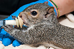 5 week old Eastern gray squirrel is fed special baby formula from a syringe, but the juvenile sucks-out his/her food by grabbing onto an attached nipple at the Birdsey Cape Wildlife Cente in Barstable, Cape Cod, Massachusetts.