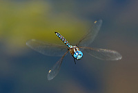 339360051 a wild male blue-eyed darner  rhionaeschna multicolor in flight over de chambeau ponds north of lee vining in mono county california united states