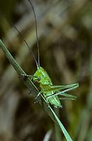 Grünes Heupferd, Entwicklungsreihe, 3. Larvenstadium, Larve, Nymphe, Weibchen, Großes Heupferd, Großes Grünes Heupferd, Grüne Laubheuschrecke, Tettigonia viridissima, Great Green Bush-Cricket, Green Bush-Cricket, female, la grande sauterelle verte, Tettigoniidae