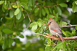 Ding Darling National Wildlife Refuge, Sanibel Island, Florida; a female Northern Cardinal (Cardinalis cardinalis) bird sitting at the edge of the mangroves © Matthew Meier Photography, matthewmeierphoto.com All Rights Reserved