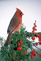 Male Cardinal on evergreen with icy red holly berries in profile, MO USA