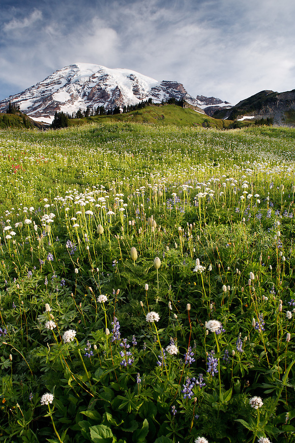 Wildflower meadow below Mount Rainier, Edith Creek Basin, Mount Rainier National Park, Washington, USA