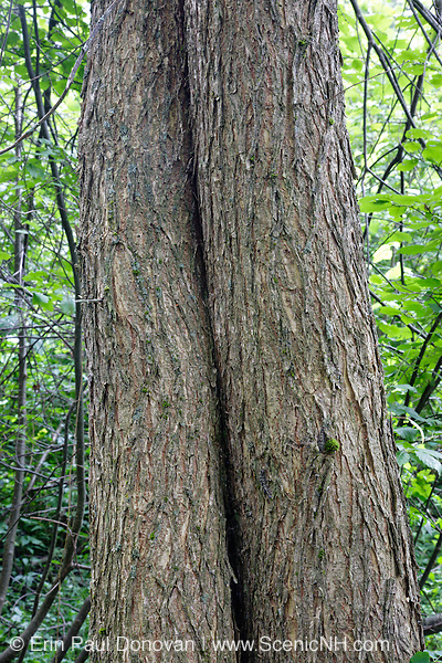 American Elm - (Ulmus americana) tree - during the summer months in Albany, New Hampshire USA