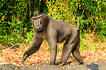 Adult male Sulawesi or Celebes crested macaque or Sulawesi or Celebes black macaque (Macaca nigra)(known locally as yaki or wolai) walking along black sand beach. Tangkoko National Park, Sulawesi, Indonesia.