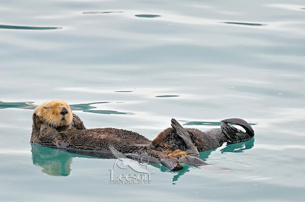 Alaskan or Northern Sea Otter (Enhydra lutris) mother nursing pup.