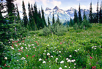 Indian paint brush and snowy slopes in Mount Rainier National park Washington State