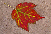 maple leaf, red, fall colors, autumn, Ogunquit, Maine, United States, Maine, USA