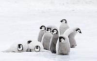 Emperor Penguin (Aptenodytes forsteri), chicks, group in colony on sea ice, Snow Hill Island, Antarctica