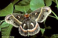 LE26-054a  Cecropia Moth - adult - Hyalophora cecropia