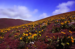 """Dalles Mountain Road climbs the north side of the Columbia River Gorge through Dalles Mountain Ranch State Park.  Balsam Root and Lupine give the area it's iconic """"Purple and Gold"""".   This image taken in high wind is ahead of peak bloom."""