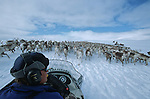 """""""Mana te, mana te"""". Standing on his snowmobile, Lennart is cheering up the retarding reindeers to join back the mass of the drove..Reindeer migration from Gallivare to the national parks of  Sarek and Stora Sjôfallet, 200 km west. Lapland, Sapmi, north of Sweden.."""