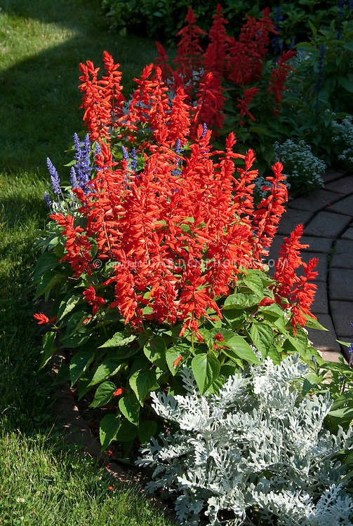 Salvia splendens red, white Dusty miller, blue Salvia farinacea for red white and blue garden patriotic color theme of annuals flowers and foliage garden bed planting combination