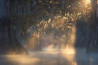 Light beams burst thropugh a grove of bald cypress, illumating the Spanish moss and misty waters below.