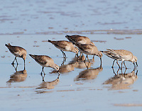 Flock of red knots in winter plumage