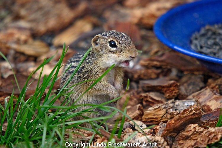 Thirteen-lined ground squirrel (Spermophilus tridecemlineatus) caught in the act of stealing seeds from the bird feeders.  Summer.  Winter, WI.