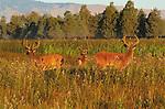 White-Tailed Deer, National Bison Range, Montana, USA